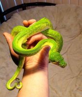 Green Tree Python by ZombieHun