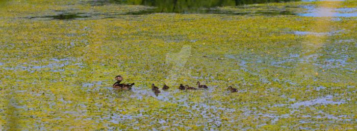 Momma Wood Duck by Sibirin