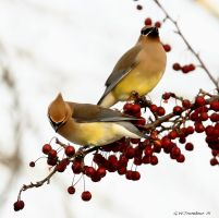 Cedar Waxwings III by natureguy
