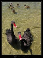 Black Swans by Crooty