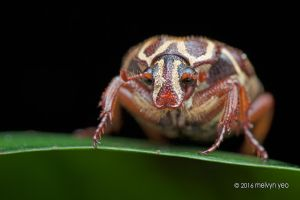Flower chafer beetle by melvynyeo