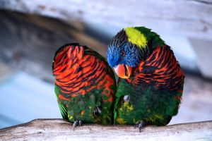 Lorikeets by dannypyle
