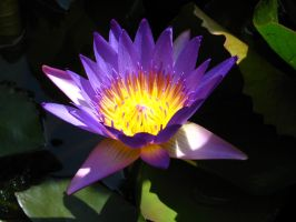 water lily 1863 by fa-stock