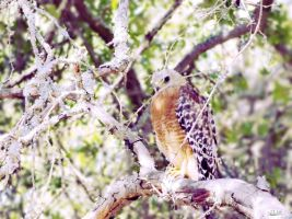 Summer Hawk(1) by linzy-yld