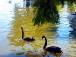 Black swans by ChiiEvans
