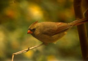Female Cardinal Oct - 17 - 2014 - 1 by toshema