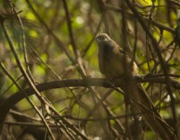 Speckled Mousebird: 2014 - March by toshema