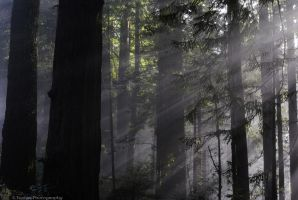 Redwood3 by Wethrildae