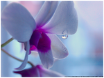 Orchid Raindrop by littlemewhatever