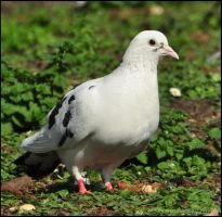 White Pigeon by Somebody-Somewhere