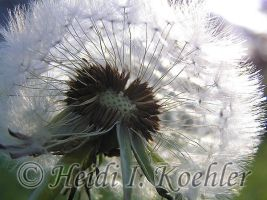 Dandilion 2006-05-08-030 by 12monthsOFwinter