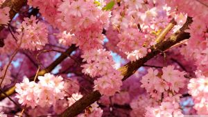 Pink Cherry Flowers by MayWhite5