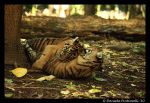 Baby Tigers: Hug Time by TVD-Photography
