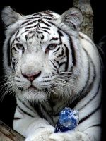 white tiger by blackpearlphotograph
