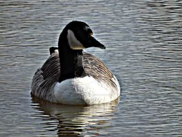 Goose by BlueDragon1822
