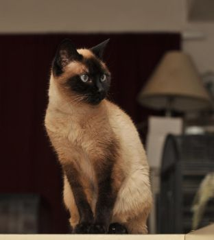 Coco Sealpoint Siamese stock by JSF1