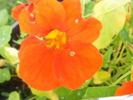 bright orange flower by BlueIvyViolet