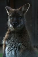 Wallaby by Kaasik91
