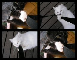 Fun: How to photograph cats by lexidh