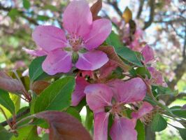 Crab-Apple Blossoms by DelphiRose