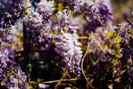 Wisteria by sup3r-Xer0