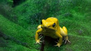 Golden Poison Frog by Track-Maidens