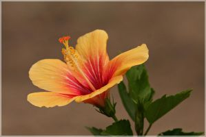 More Hibiscus by Firey-Sunset