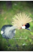 _crowned crane. by Bloddroppe-nature