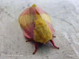 Rosy Maple Moth by jim88bro