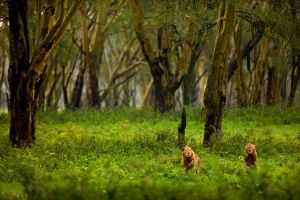 African Lion 51 by catman-suha