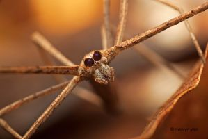 Net casting spider Closeup by melvynyeo