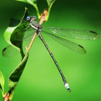 Dragon Fly by hintoncole