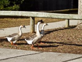 Geese IV by Baq-Stock