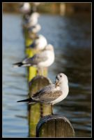 Line of Gulls by george-kay