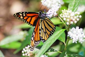 Monarch Butterfly by winterface