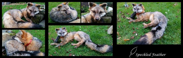 Gray Fox Soft Mount by Speckled-Feather