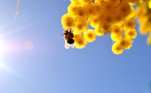 Bee in Mimosa Tree by theri611