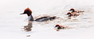 Female goosander with chicks by Renum63