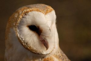 Barn owl by Sarah-Hann-photo