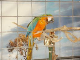Blue-and-Yellow Macaw by L1701E