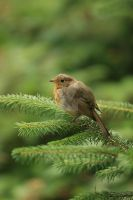 Baby Robin by twilliamsphotography