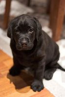 Labrador Puppy Sitting by rainey06au
