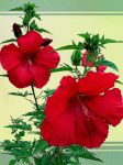 Giant Red Hibiscus by jjkiefer