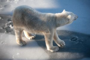 Polar bear by markotapio