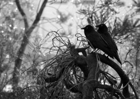 Australian Raven pair 02 by Ravenari