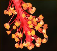 Hibiscus Stamens by Firey-Sunset