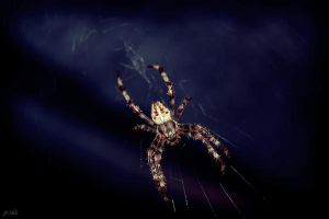 Spider by joanchris