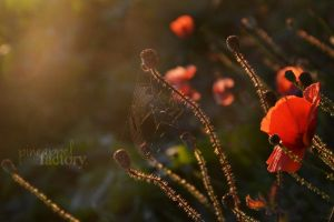Poppy and spiderweb in the sunset by Pineappelfactory