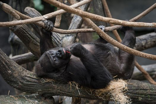 Brookfield zoo dweller by Foques