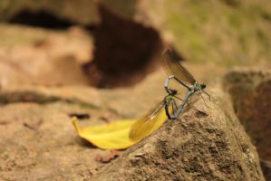 dragonfly love 2 by rayna23
